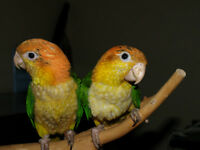 White Bellied Caique Chicks- female