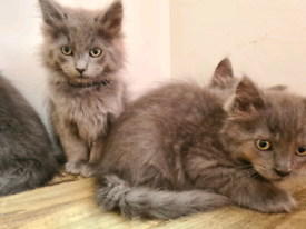 Mainecoon Ragamuffins blue smoked - 1 male left now