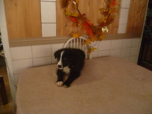 chiot border collie pur rase