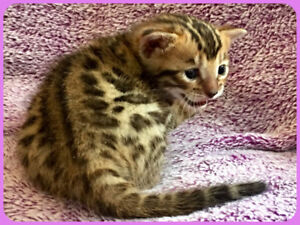 ⭐️  BENGAL  KITTENS  ⭐️  T.I.C.A.  REGISTERED    ⭐️