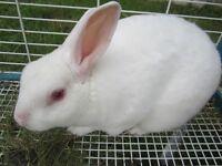 mini-rex bunny rabbit