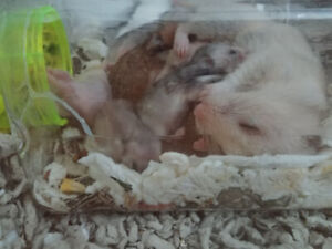 Hamster | Small Animals in Toronto (GTA) | Kijiji Classifieds