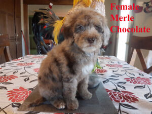Beautiful medium size poodle for sale - à vendre
