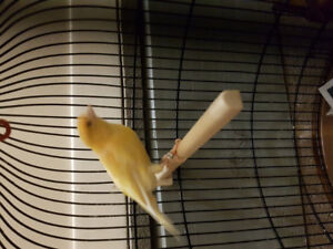 Canary Male for sale with his cage