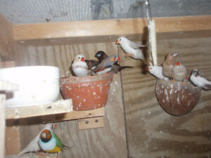 """SOCIETY FINCHES  """"Don't pay retail prices"""""""