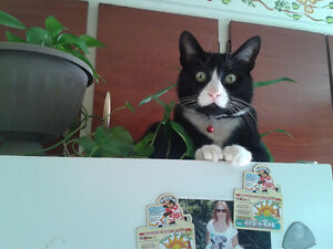 Chat perdu 4 aout 2016 coin ile perrot/pincourt