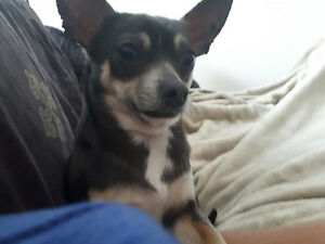 Lost Chihuahua- Uplands Dr. Ottawa South