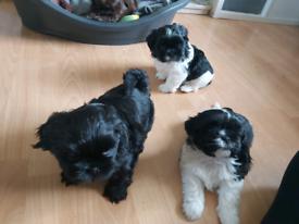 Gorgeous imperial shihtzu puppies
