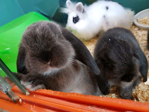 Bunnies! Lops and LionHeads