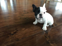 Gorgeous French Bulldog For Sale