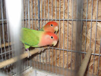 Breeding pairs of lovebirds for sale