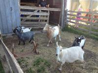 4 Pygmy Goats - all pregnant