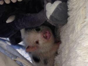 Willie the micro piggie!