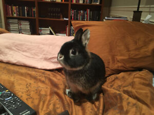 Adorable Dwarf Bunny - Olly for Sale $80.00