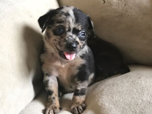 Teacup Chihuahua | Adopt or Rehome Pets in Ontario | Kijiji Classifieds