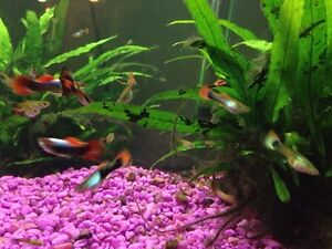 Lots of guppies! Strathcona County Edmonton Area image 5