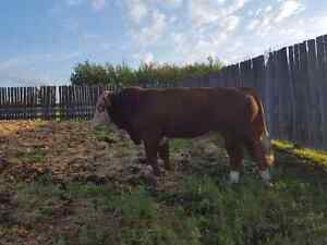 Fullblood simmental bulls for sale