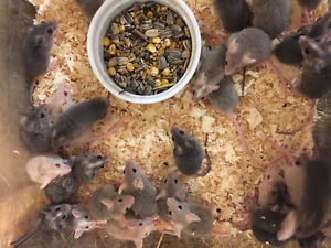 Baby African Soft Fur Rats