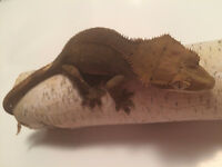 Beautiful crested gecko buckskin