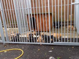 Wheaton greyhound x bullgreyhound puppies for sale