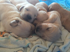 Golden Reteriver Labrador Cross Puppies