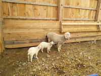 One 5 year old angora dam goat with 2 kids.