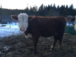 Registered purebred Polled Hereford heifer