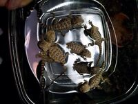 12 bearded dragons adults and babies