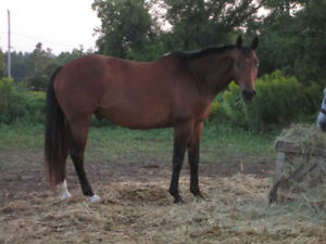 16yr old quarterhorse to good home