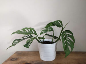Monstera Adansonii in ceramic pots, healthy, rooted w/options!