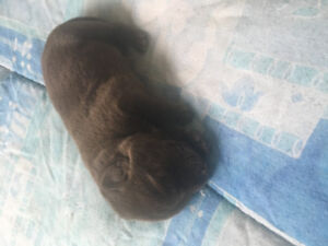 Chocolate & Black Lab Puppies **2 STILL AVAILABLE**