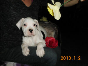 *** Super Gorgeous White &  Brindle Patches  Boxer  Puppies