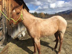 AQHA Red Roan Mare