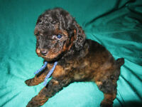 CKC REGISTERED MALE PHANTOM TOY POODLE PUPPY