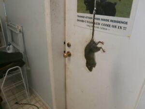 BIG LIVE RAT !!