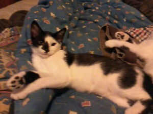 5 month old kittens free to a good home! London Ontario image 3