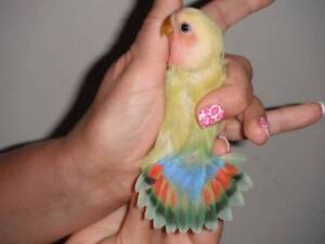 LOVEBIRDS , FULLY TAME , hand raised .Rainbow  tail. Hillarys Joondalup Area Preview