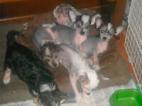 ADORABLE HAIR-LESS CHINESE CRESTED PUPPIES