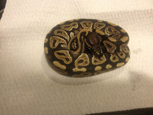 Hi have a few ball pythons ready for new home