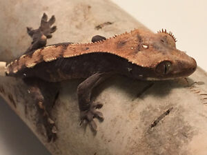 3 months old Crested gecko