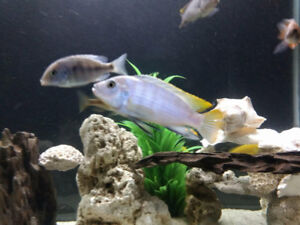 """African Cichlid + free two 2"""" juve"""