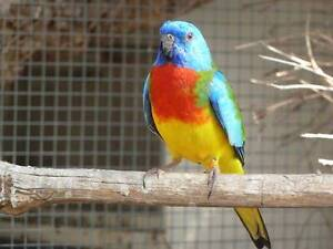 SCARLET CHESTED PARROTS Pearcedale Casey Area Preview