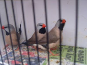 Shaftail finches