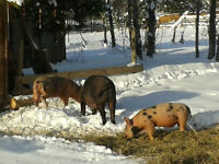 Pigs pastured and finished on an all Natural diet