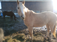 Pony mare available for LEASE