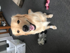 Looking for a stud for my Golden Retriever