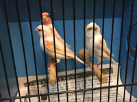 Canaries finches mules and breeding cages for sale