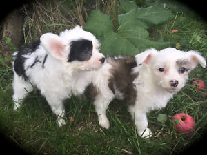 Two Chinese Crested Powder Puff Females Available  Now ...