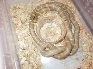 Proven pair Blue Eyed Blonde Cal King Snakes(B.E.B's)