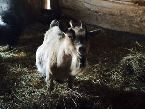 Female Pygmy goat for trade for a young Pygmy buck, No black